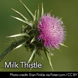 MilkThistletemp-D